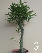 回复:小叶紫檀盆景怎么养